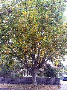 Plane tree in my street.